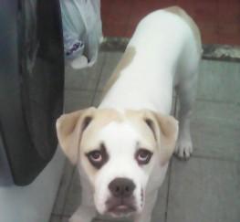 Pets  - Alapaha bulldog puppy for sale