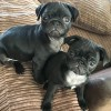 Pets for Sale - KC egistered Black Pug Puppies