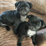 KC egistered Black Pug Puppies