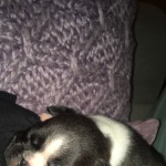 2 female Boston terriers for sale