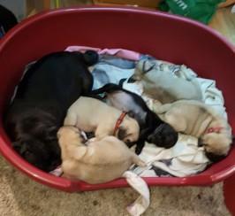 Kc reg chunky pug puppies ready 22nd oct