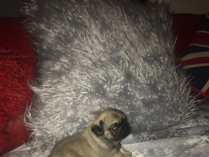 BEAUTIFUL HEALTHY CHUNKY PUG PUPPIES FOR SALE