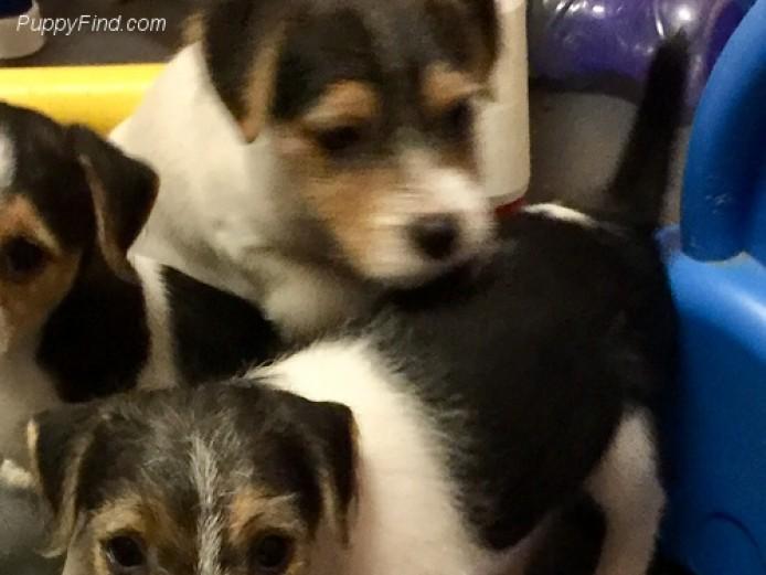 Absolutely Beautiful Shih Tzu Puppies