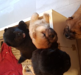 Pets  - Adorable chow chow puppies