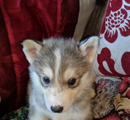 Pets  - Sibian huskeys pups