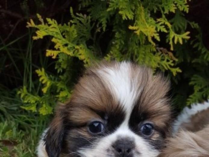 Cute Shih Tzu Puppies For Sale