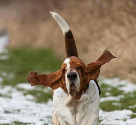 Top Quality Basset Hound At Stud