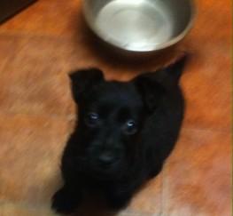 Pets  - Stunning Terrier Puppys