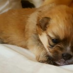 Stunning Miniture Female Pomeranian Puppy