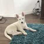 Beautiful male husky puppy