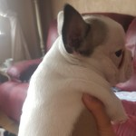 2 beautil bulldog puppied