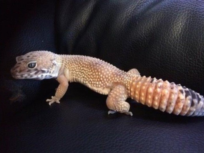 Male leopard gecko for breeding