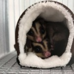 Two male sugar gliders and cage