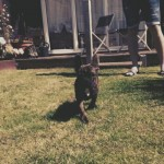 Stunning French Bulldog for sale