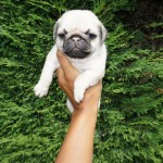 Stunning litter of white and platinum/ Silver Pug pups