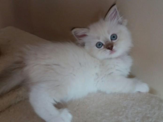 GCCF Registered pedigree ragdoll kittens