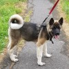 Pets  - Akita Puppy for sale