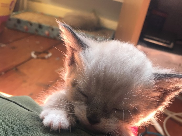 2 Snowshoe Kittens (Both Reserved)