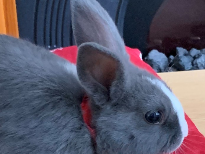 2 Beautiful and Lovely Male Twin Rabbits - 16 Weeks