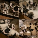 Bojack puppies