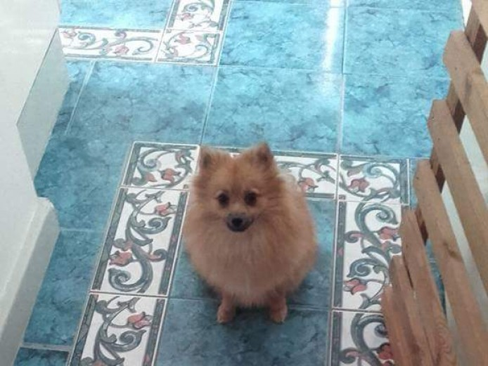 Male wolf sable pedigree miniature Pomeranian puppies