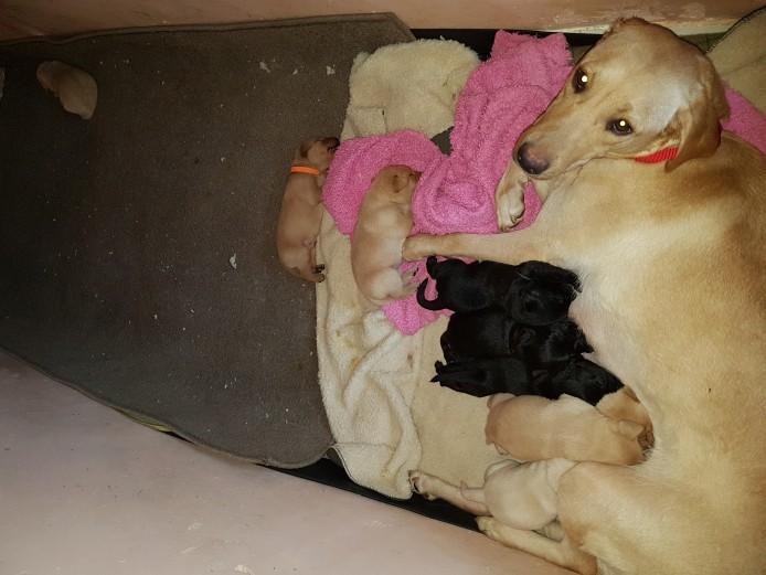 Labrador puppys