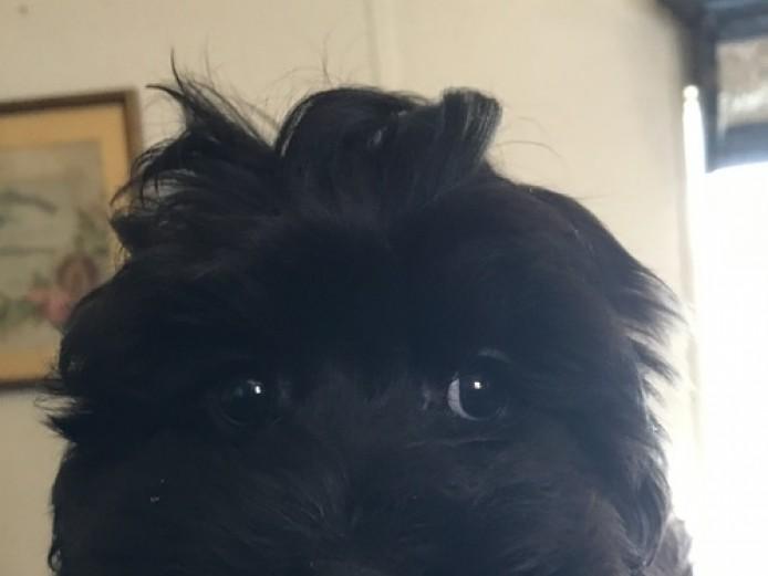 Health Guarantee,Cockapoo Puppie for sale