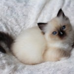 Beautiful Pedigree Ragdoll Kittens!