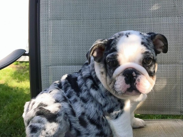 English Bulldog Puppies Available. Registered Male and Female