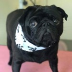 Black pug for stud