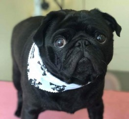 Pets  - Black pug for stud