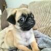 Pets  - Kc Reg pug puppies