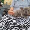 Pets  - KC Top quality litter, 3 boys, 100% European lines, Apache the Bulls pups!!!