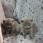 Show Class TICA/GCCF Reg Scottish Fold Straight For Sell