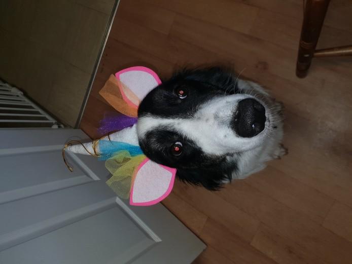 Beautiful Welsh Sheepdog