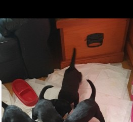 Pets  - Labrador puppies for sale