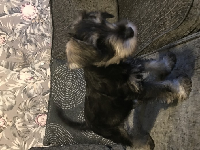 KC REGISTERED SALT & PEPPER MINIATURE SCHNAUZER BOY PUPPY FOR SALE