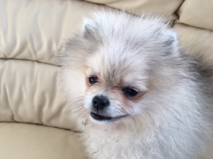 Pomeranian female for sale