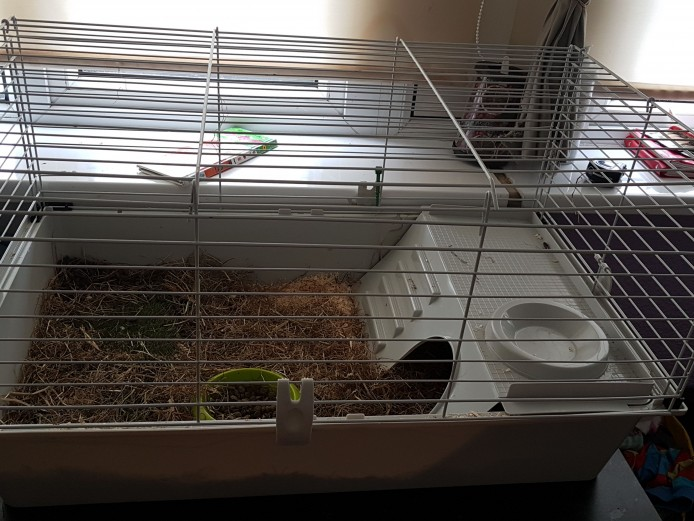 For sale balance and tan guinea pig