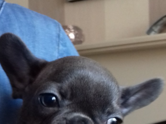 Solid blue french bulldog KC Reg