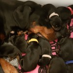 13 Gorgeous Pedigree Dobermann Puppies KC