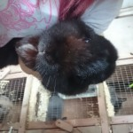 pure black male mini lop called thumper