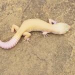 Female Ember 33% Poss Het Blizzard Leopard Gecko