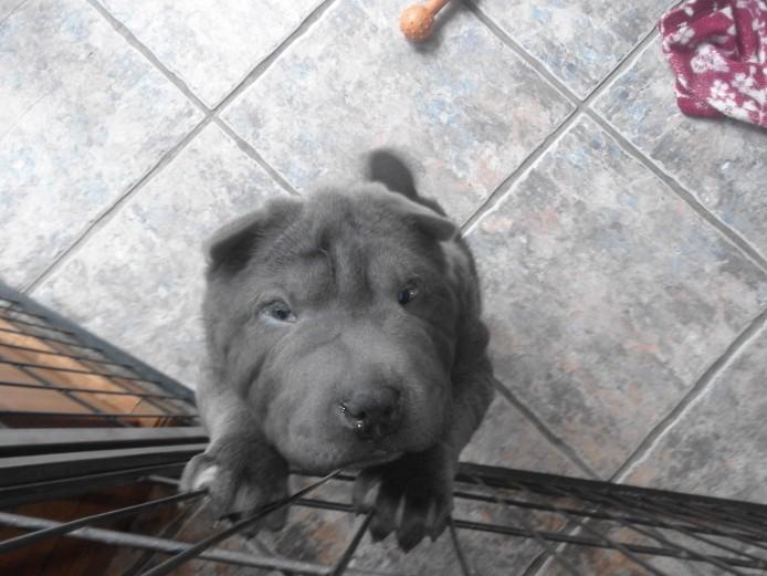 Blue Shar Pei Kc registered pups