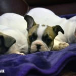French Bulldog 3/4 Puppies for sale