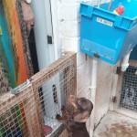 A beautiful pedigree chocolate male miniature dachshund for sale