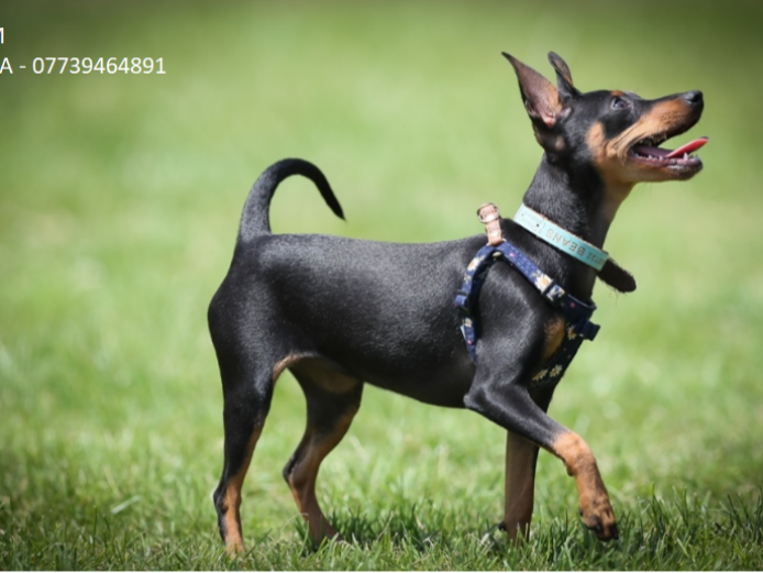 3 Beautiful Miniature Pinscher Puppies For Sale!
