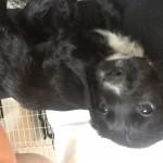 Sprocker puppies forsale