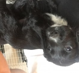 Pets  - Sprocker puppies forsale