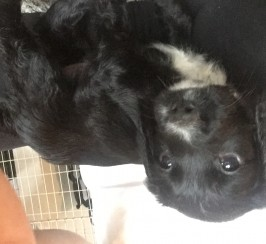 Sprocker puppies forsale
